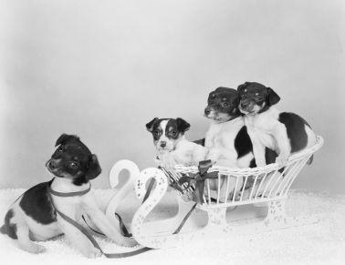 Fox Terrier puppies in a sleigh.