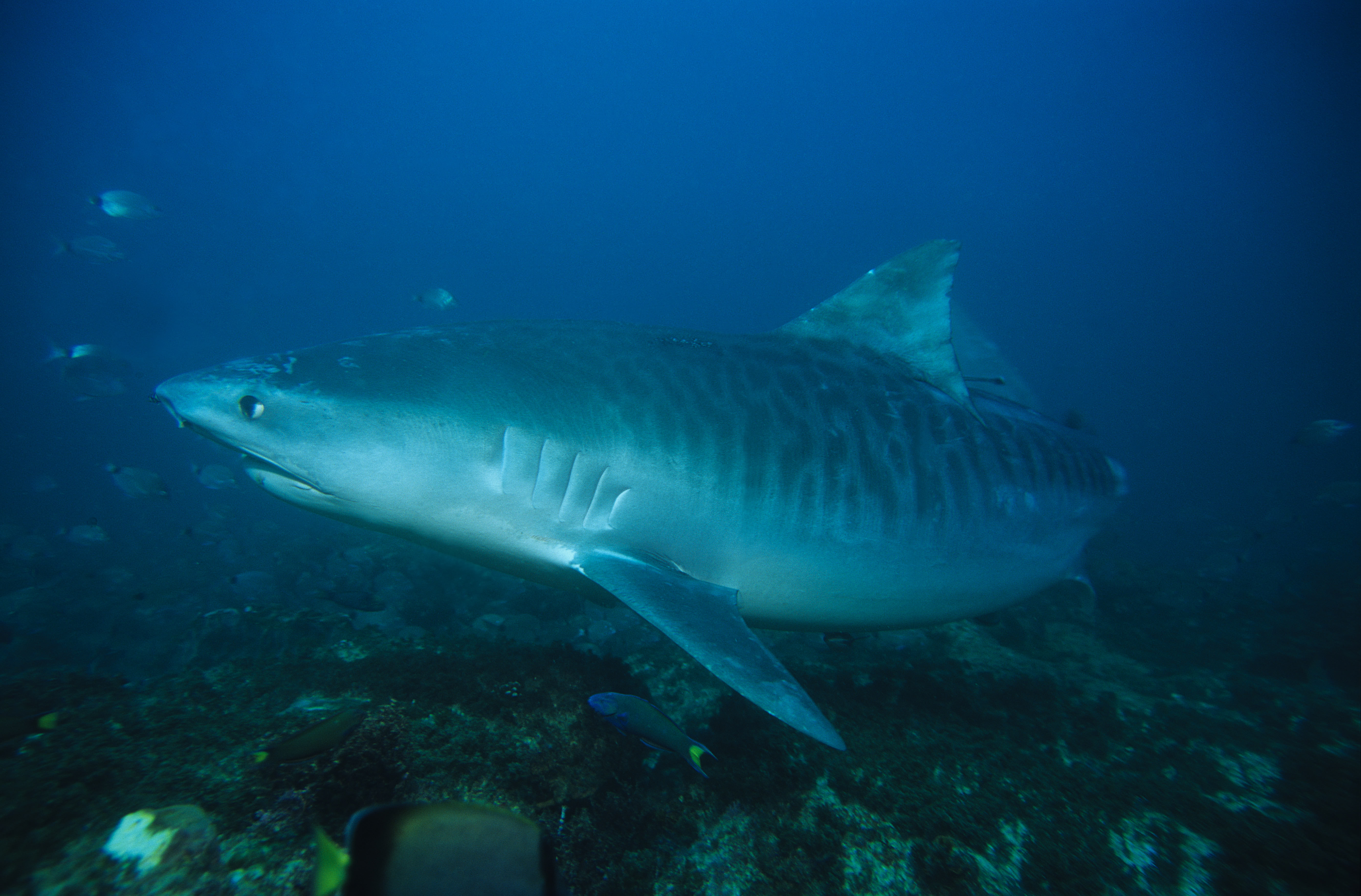 tiger shark, galeocerdo cuvier, swimming, durban, south africa