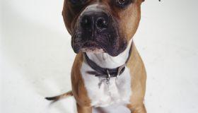 Dog, American Staffordshire Terrier sitting, (Portrait)