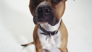 Dog, American Staffordshire Terrier sitting, (Portrait)