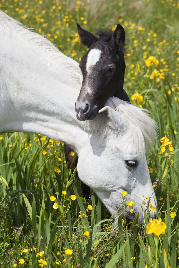 Connemara Pony Mare and Foal, Ireland