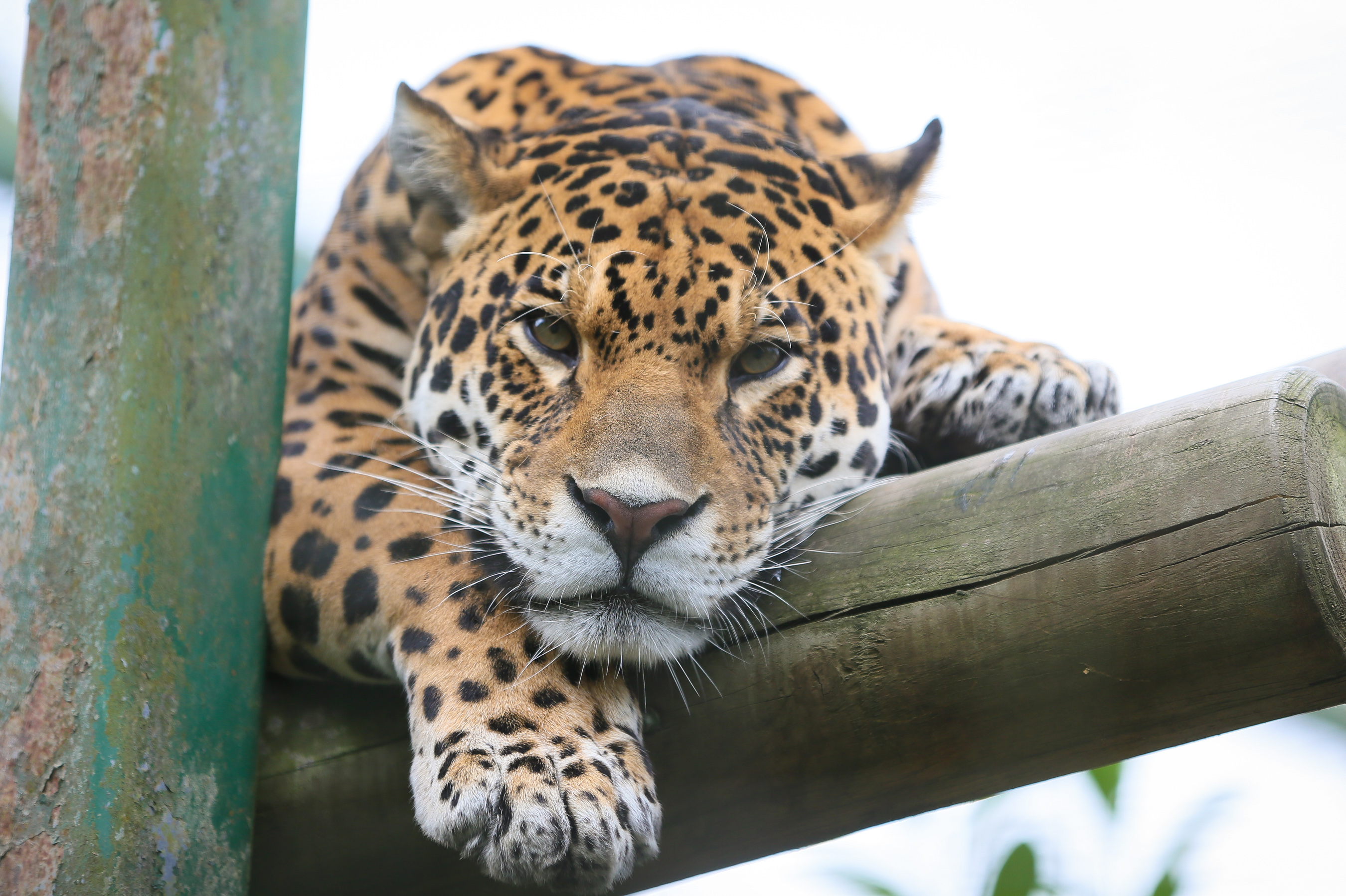 Jaguar Attacks Woman Who Climbed Zoo Barrier for Selfie